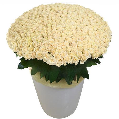 фото 301 біла троянда у великому вазоні